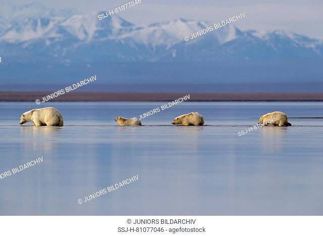 Polar Bear (Ursus maritimus, Thalarctos maritimus). Mother and three cubs walking in shallow water. Kaktovik, Alaska. Every fall polar bears gather near...