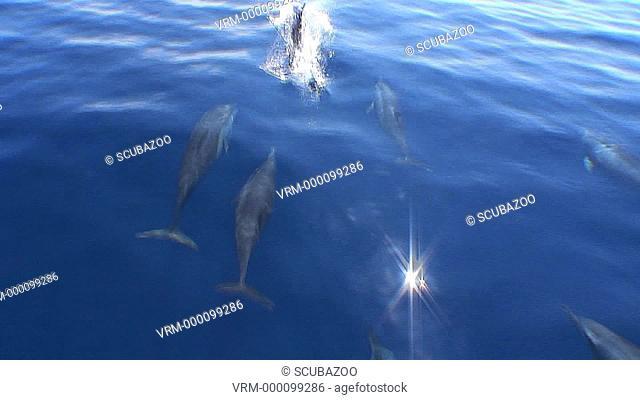 Topside Spinner Dolphins Stenella longirostris bowriding, Maldives, Indian Ocean