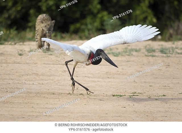 Jabiru (Jabiru mycteria) escaping from stalking Jaguar (Panthera onca), starting to fly, Pantanal, Mato Grosso, Brazil