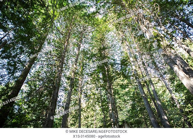 Looking skyward in an Old Growth forest in Kokanee Provincial Park in British Columbia, Canada