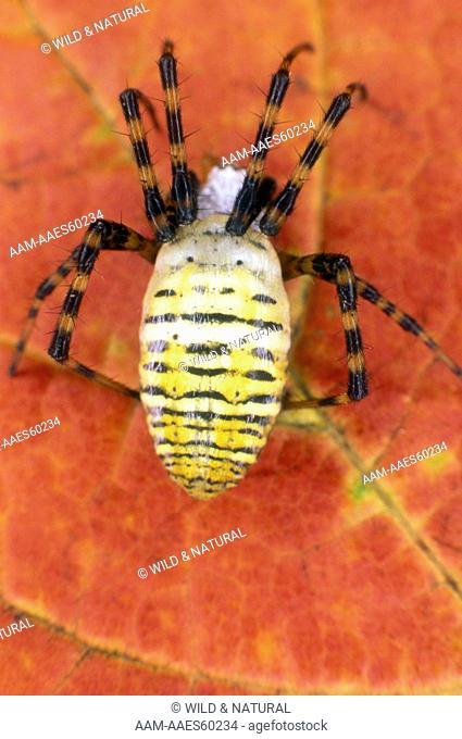 Banded Argiope Spider, female (Argiope trifasciata)
