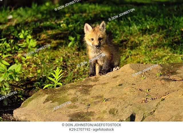Red fox (Vulpes vulpes) captive raised kits, Minnesota Wildlife Connection, Sandstone, Minnesota, USA