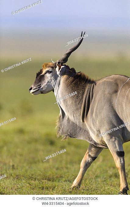 Common eland (Taurotragus oryx) in savanna, Maasai Mara National Reserve, Kenya, Africa