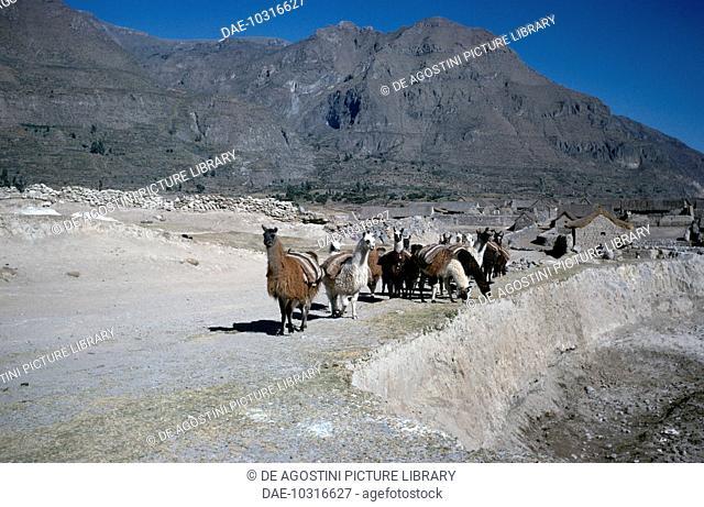 Llama (Lama glama), Camelids. Andes, Peru