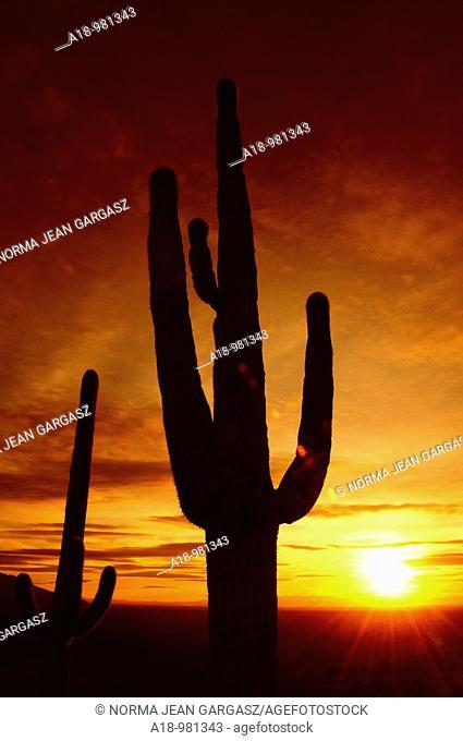 Saguaro cactus, carnegiea gigantea, at sunset in Redington Pass in the Rincon Mountains in the Coronado National Forest in the Sonoran Desert, Tucson, Arizona