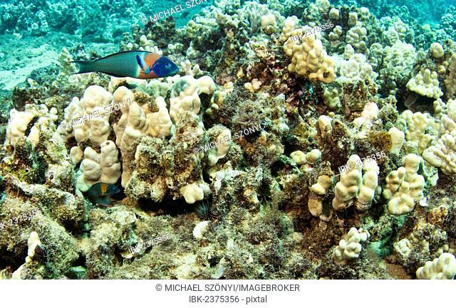 Parrotfish (Scarinae), Kahekili Beach Park, Lahaina, Maui, Hawaii, USA