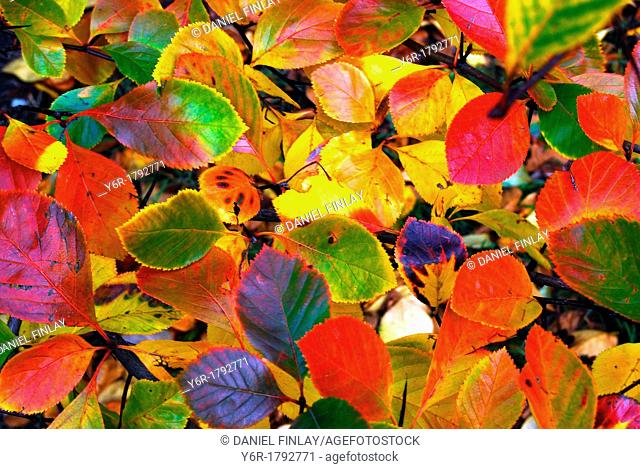 Colourful array of Autumn / Fall leaves