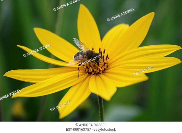 Mädchenauge mit Biene