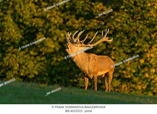 Red Deer (Cervus elaphus), roars into the rut in the evening light, captive, Lower Saxony, Germany