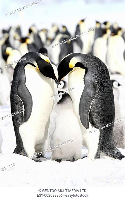 Emperor penguins Aptenodytes forsteri