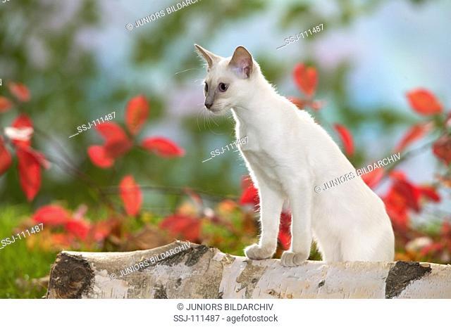 animal,cat,Balinese-cat