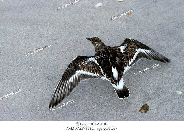 Ruddy Turnstone (Arenaria interpres)Faking Broken WingCape Lookout Nat'l. Seashore