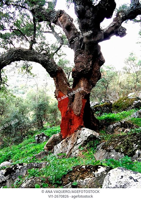 Cork oak, Cáceres, Extremadura, Spain