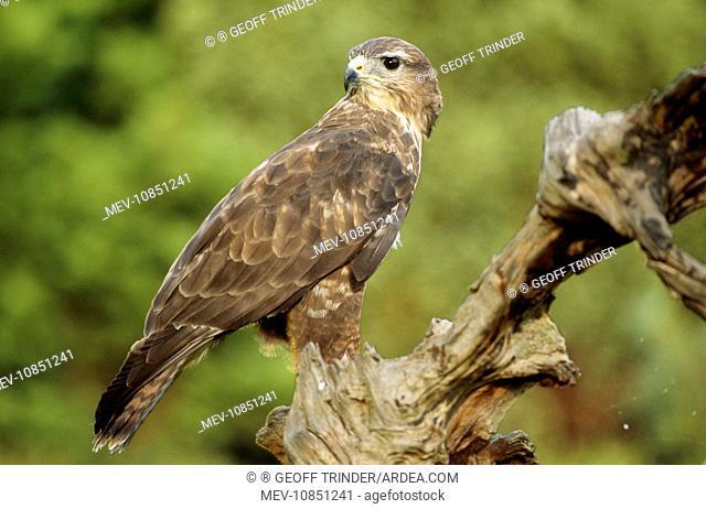 Common / European Buzzard - on tree stump (Buteo buteo). Falconers Bird, Lincolnshire UK