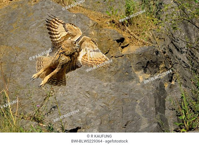 northern eagle owl Bubo bubo, flying in front of a rock wall, Germany, North Rhine-Westphalia, Sauerland