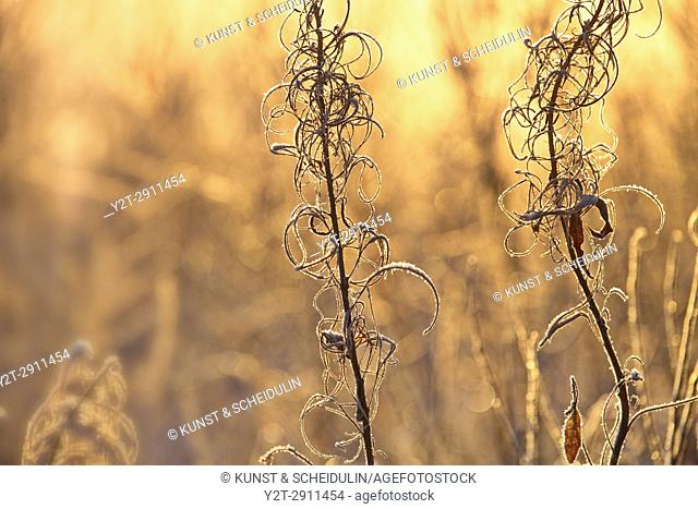 Frost covered withered grasses are illuminated by low winter sun. Västernorrland, Sweden