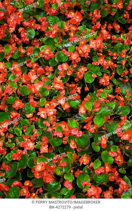 Red Begonia (Begonia), Bavaria, Germany