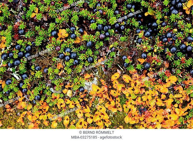 Greenland, East Greenland, area of Ammassalik, tundra, berries, lichens