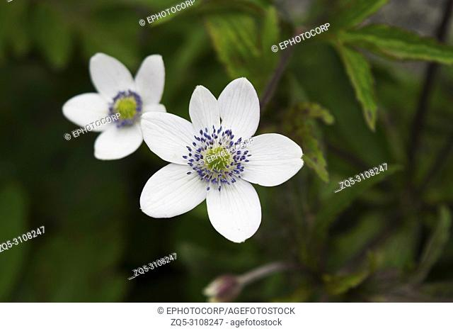Anemone tetrasepala white flowers, Valley of flowers, Uttarakhand, India