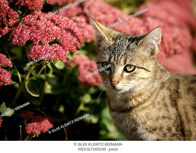 Portrait of tabby kitten in front of red blossoms