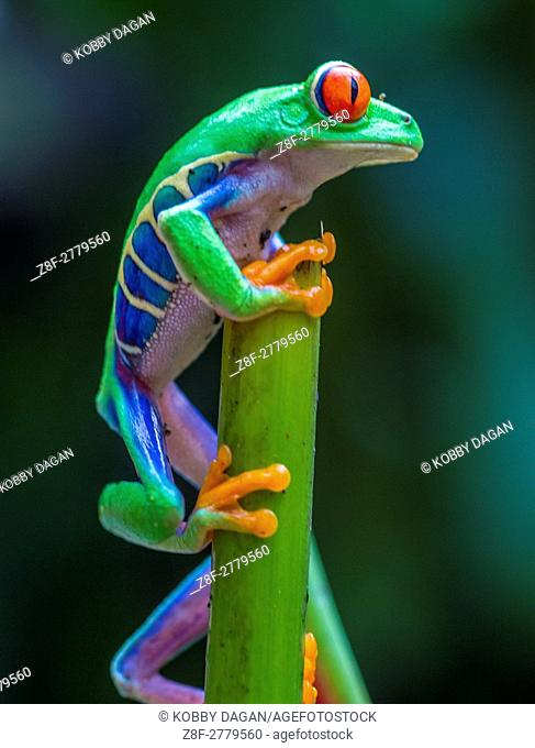 Red-Eyed Tree Frog in costa rican rain forest