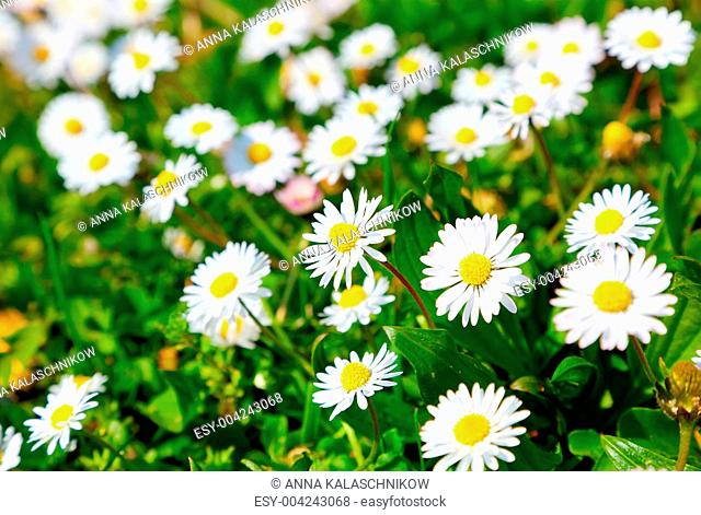 Daisies in a meadow, close-up