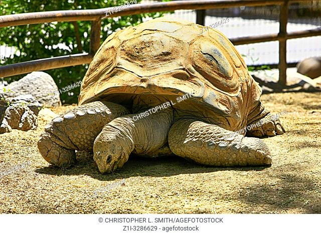 Giant Galapagos Tortoise at the Reid Park Zoo in Tucson AZ