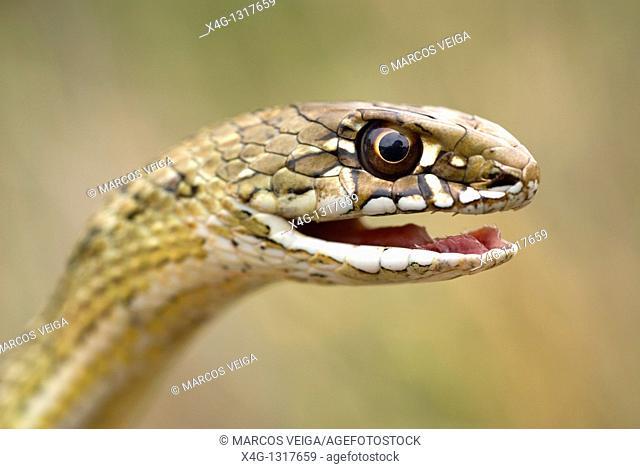 Montpelier Snake (Malpolon monspessulanus)