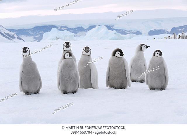 Emperor Penguin Aptenodytes forsteri chicks  Snow Hill Island, Antarctic Peninsula, Antarctica