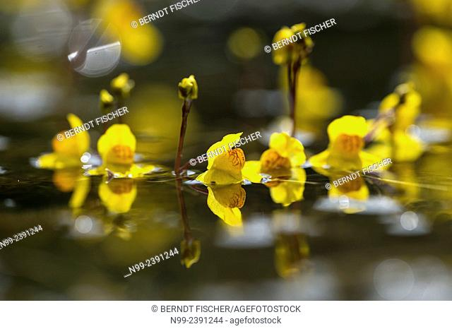 Water hose (Utricularia), carnivore plant, pond, Bavaria, Germany