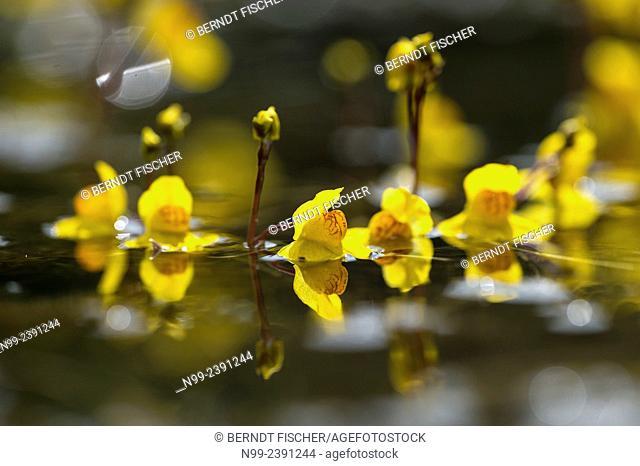 Water hose (Utricularia), carnivore plant, pond, Bavaria, Germany