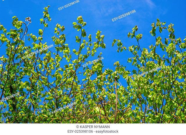 Fresh green beech leaves on blue background
