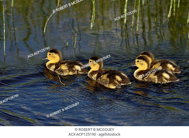 A brood of Blue-Winged Teal ducklings (Anas discors); swimming together as a group in the beaver pond at Maxwell Lake near Hinton Alberta Canada