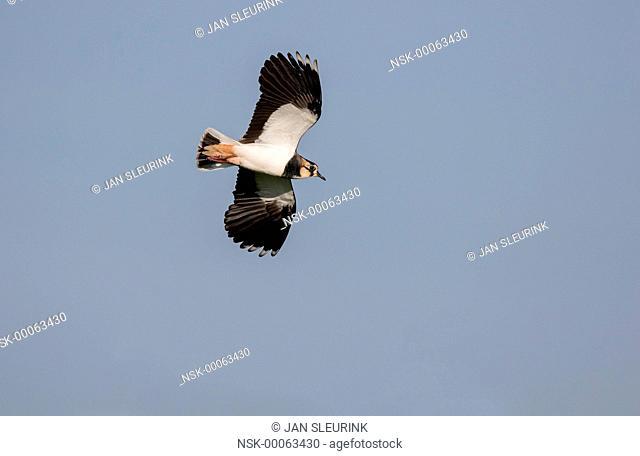 Eurasian Lapwing (Vanellus vanellus) in flight against the sky, The Netherlands, Gelderland, polder Arkemheen