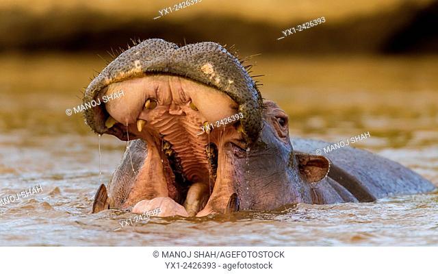 Hippo in water yawning. Masai Mara National Reserve, Kenya