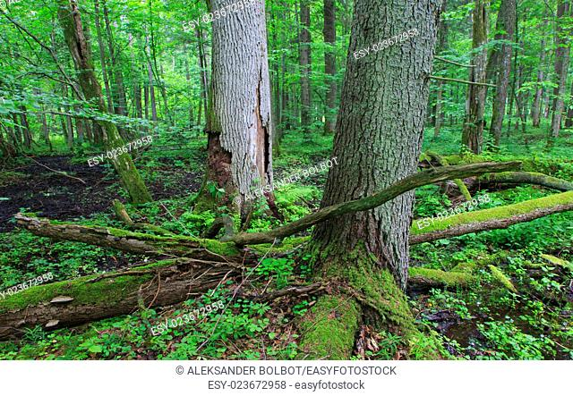 Two old dead trees and old natural deciduous stand of Bialowieza Forest in background,Bialowieza Forest,Poland,Europe