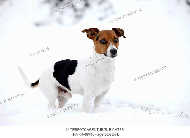Jack Russell Terrier in snow