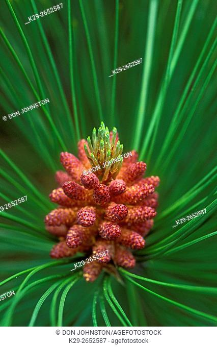Red pine (Pinus resinosa) Needles and developing cones, Lively, Ontario, Canada