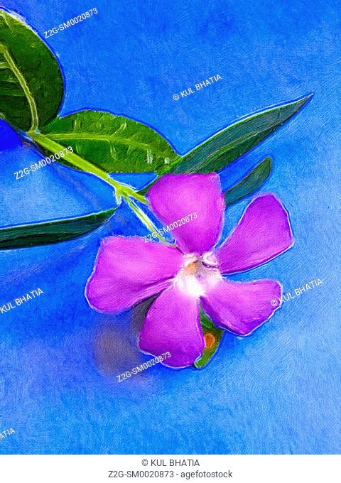 Periwinkle or Myrtle flower and leaves, a popular ground cover, rendered as a painting, Ontario, Canada