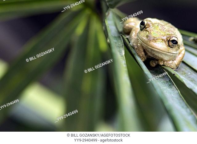 Cuban Treefrog - Green Cay Wetlands, Boynton Beach, Florida USA