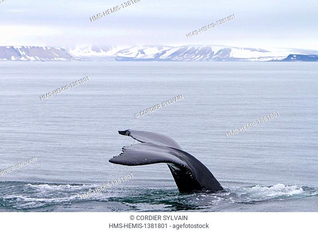 Norway, Svalbard, Spitsbergen, Nordaustlandet, Humpback whale (Megaptera novaeangliae), Tail