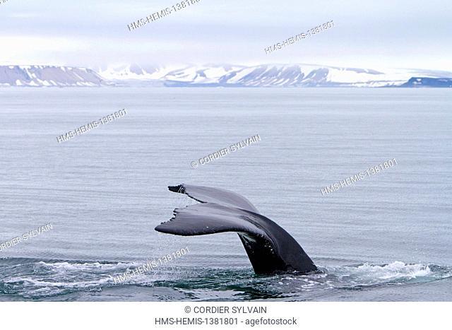 Norway, Svalbard, Spitsbergen, Nordaustlandet, Humpback whale (Megaptera novaeangliae), Tail