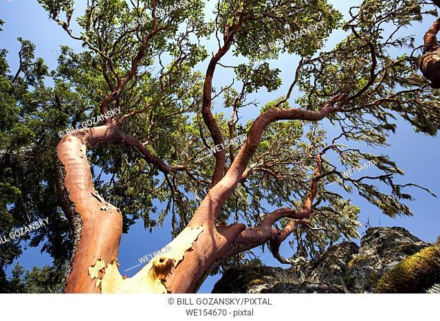 Arbutus Tree (Arbutus menziesii) - East Sooke Regional Park, Sooke, Vancouver Island, British Columbia, Canada