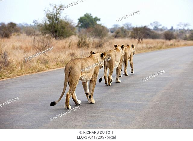 A Lioness trio walking along a road