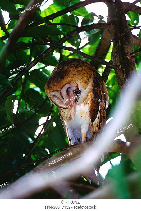 Common Barn-Owl, Tyto alba, Tytonidae, Owl, in tree, bird, animal, Costa Rica