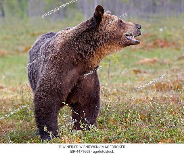 Old brown bear (Ursus arctos) in marshland, northeastern Finland, Finland