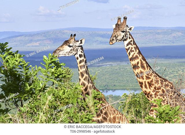 Maasai giraffe couple, male and female (Giraffa camelopardalis tippelskirchi) Akagera National Parc, Rwanda, Africa