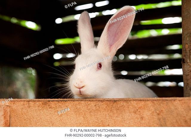 Rabbit farming, albino rabbit in hutch, kept for meat, Rwanda
