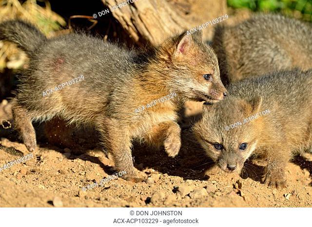 Grey Fox - (Urocyon cinereoargenteus) Kit near the den, captive raised, Minnesota wildlife Connection, Sandstone, Minnesota, USA