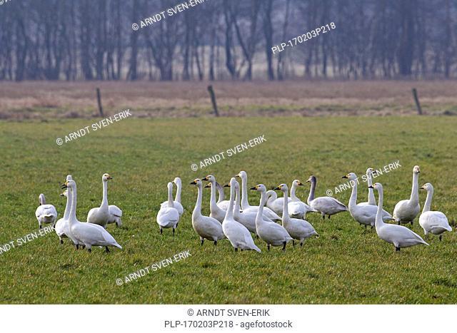 Tundra swans (Cygnus columbianus) / Bewick's swans (Cygnus bewickii) flock foraging in meadow in spring